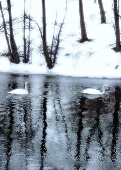 Winter Swans_3 (2)
